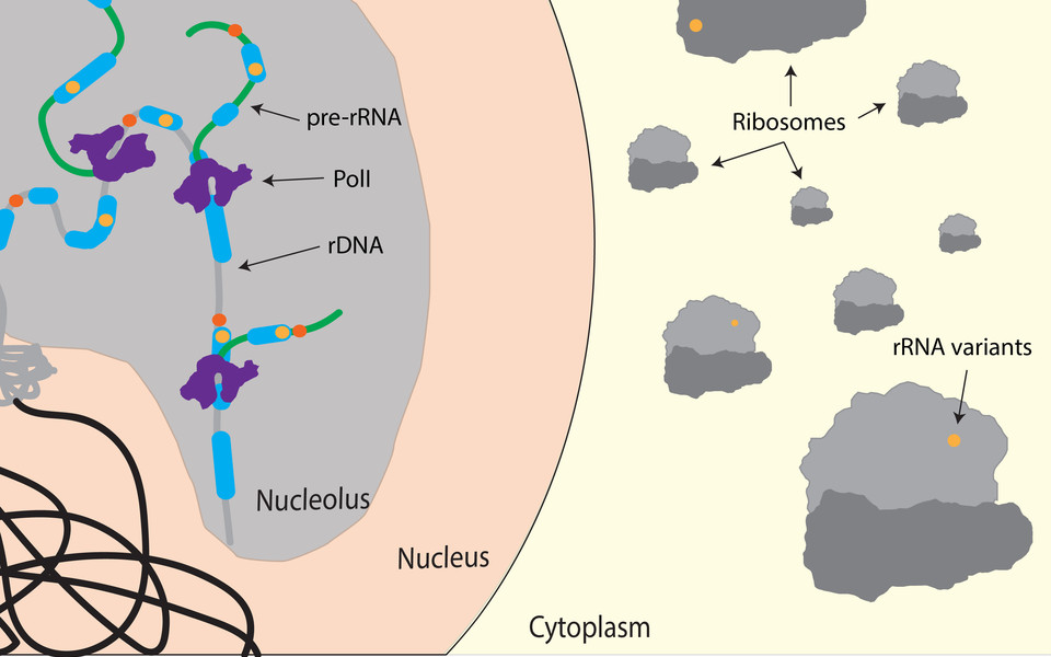 The schematic cartoon shows rDNA genes, containing single nucleotide variations within the coding (yellow dot) and non-coding regions (orange dot), being transcribed by Pol I and processed to form functional ribosomes. (c) Jason Sims